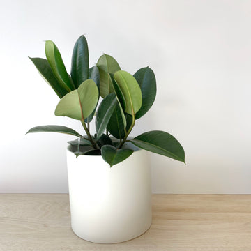 Plant Gift Delivery Adelaide - Ficus Decora Indoor Plant - Sleek and Unique Gifts