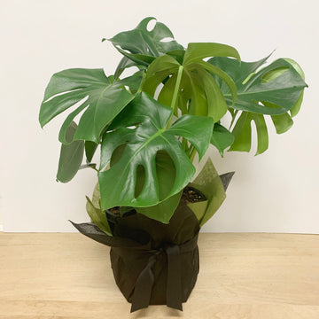 Large Monstera - Wrapped in Non Woven for Gifting - Sleek and Unique Gifts