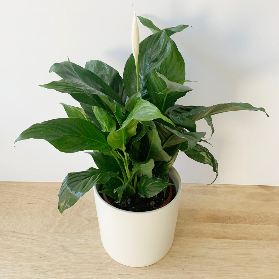 Peace Lily Plant Gift Adelaide