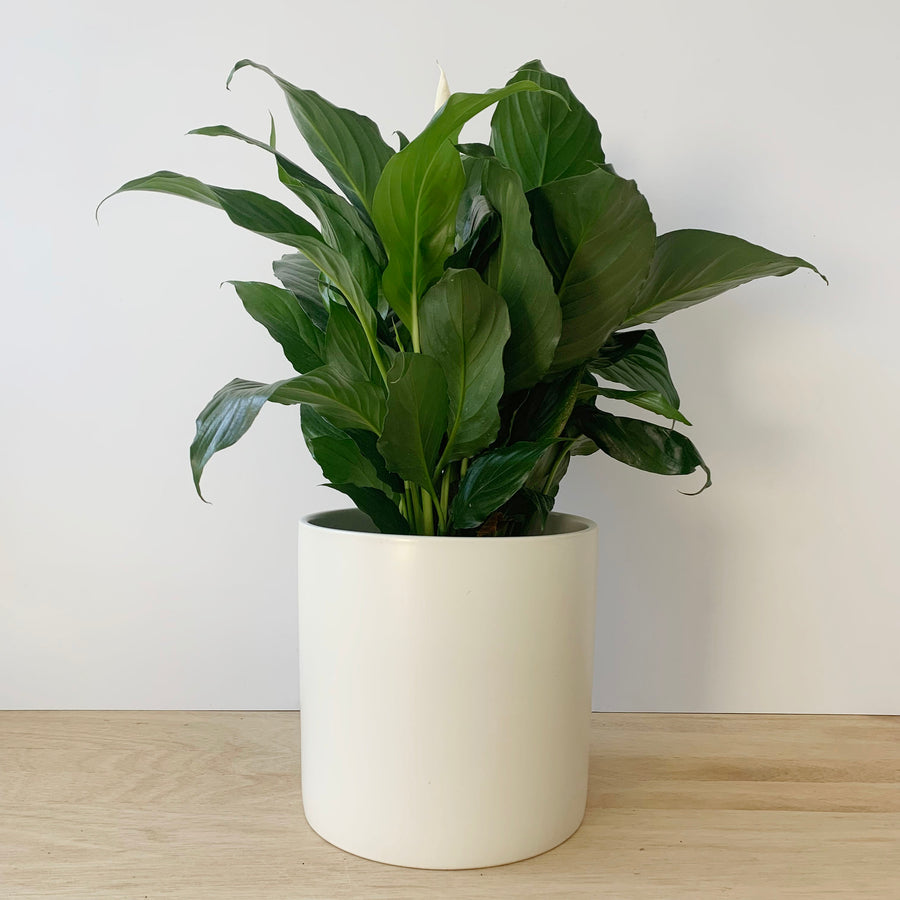 Plant Gift Adelaide Delivery - Peace Lily