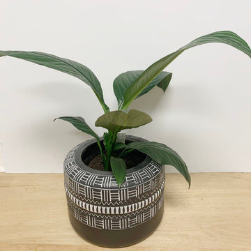 Peace Lily 'Sensation' in Feature Pot