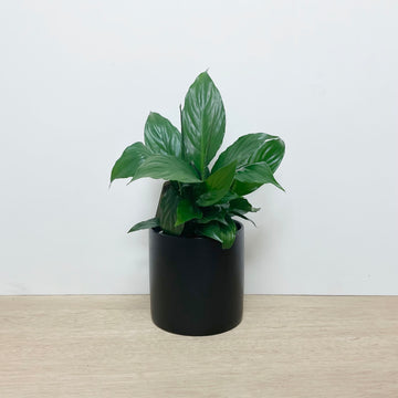Peace Lily in Black Contemporary ceramic Pot - Indoor Plant Gift Delivery