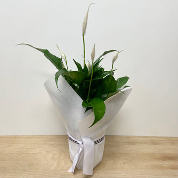 Peace Lily Indoor Plant - Indoor Plant Gift Delivery