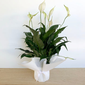 Peace Lily Plant Gift Delivery Adelaide