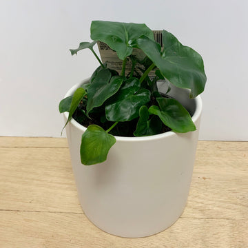 Philodendron Indoor Plant Gift Adelaide - Sleek and Unique Gifts
