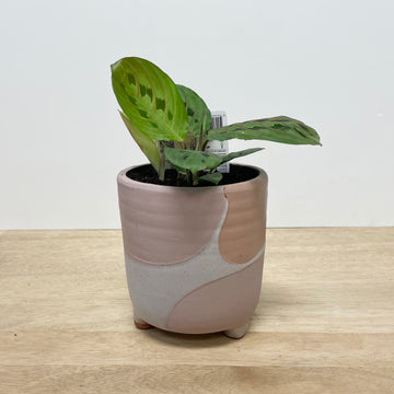 Pink Feature Pot and Maranta Leuconeura Indoor Plant - Plant Gift Delivery Adelaide