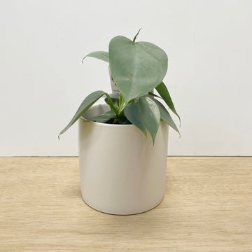 Silver Leaf Philodendron Indoor Plant Gift - Adelaide Plant Delivery