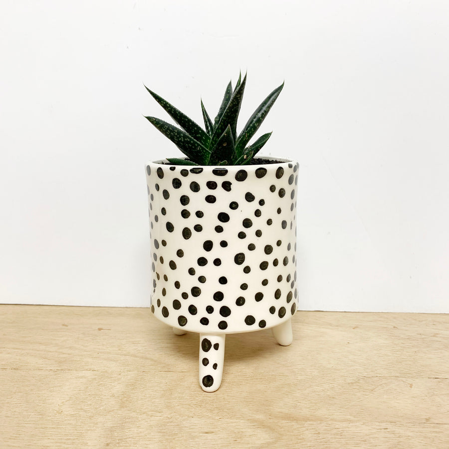 Succulent in Spotted Pots - Gift Delivery Adelaide