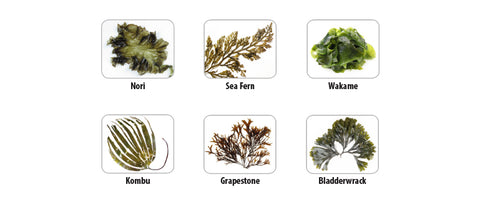 tonic alchemy sea vegetables fucoidan