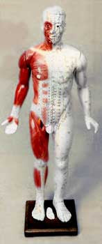 Extra Large Human Acupuncture Model (Fiberglass)