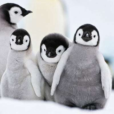Baby penguins Christmas cards
