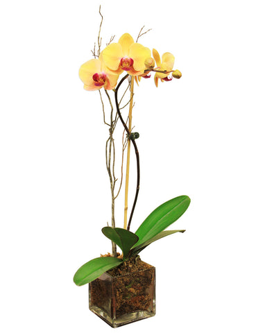 Grower's Choice Orchid in Glass