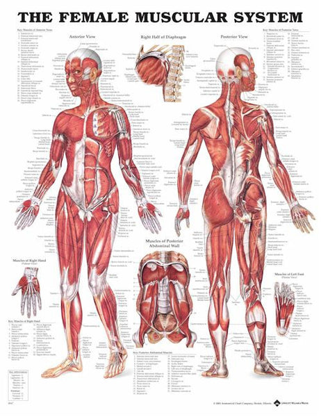 The Female Muscular Systems