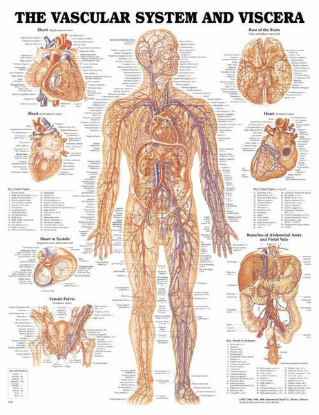 The Vascular Systems & Viscera