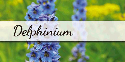 Delphinium - Flower Type EbloomsDirect