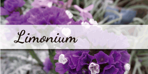 Limonium - Flower Type EbloomsDirect