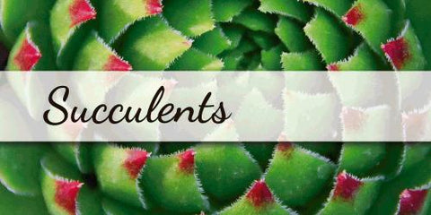 Succulents - Flower Type EbloomsDirect