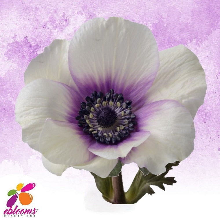 Anemones Bicolor White and Purple 40 - 45cm Pack 120 Stems