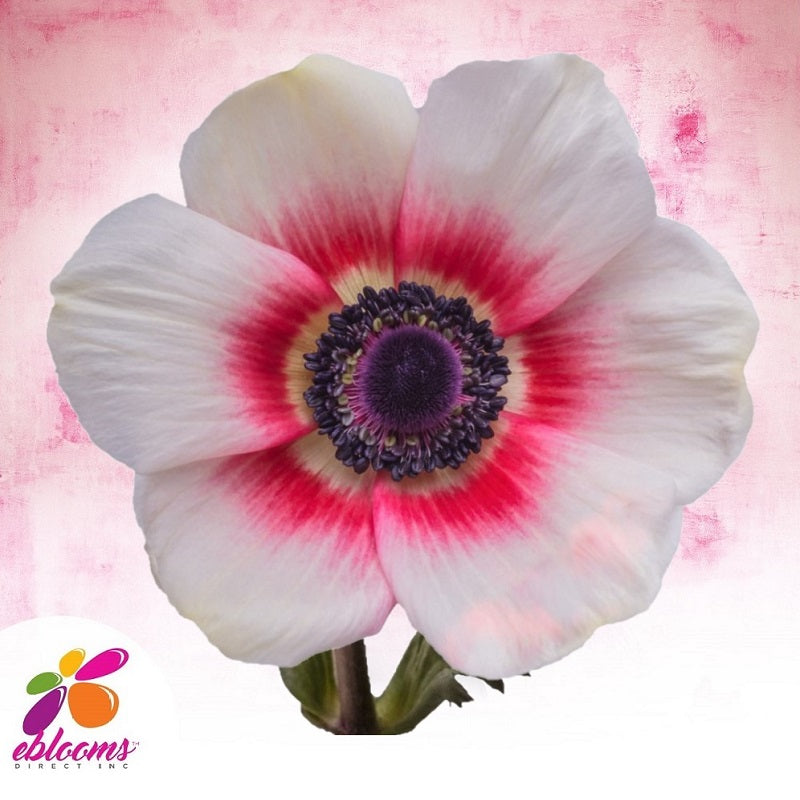 Anemone Bicolor White And Red - EbloomsDirect