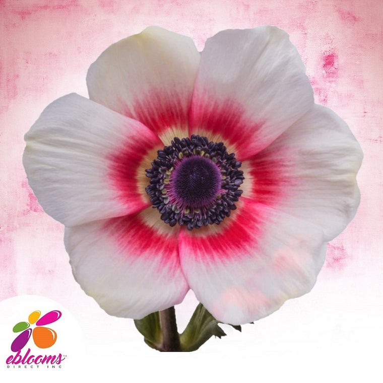 Anemones Bicolor White and Red 40 - 45cm Pack 120 Stems