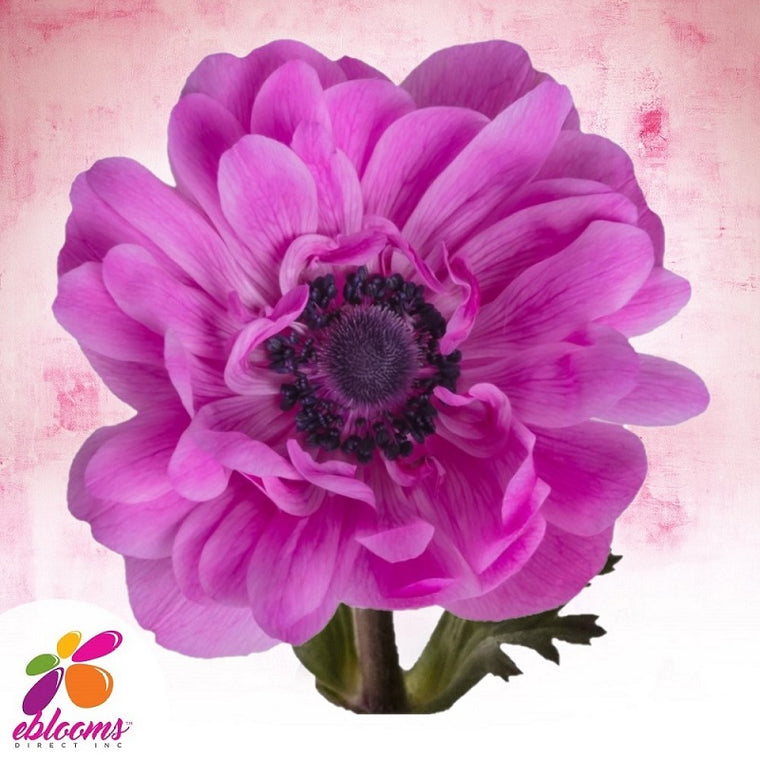 Anemones Fullstar Hot Pink 40 - 45cm Pack 120 Stems
