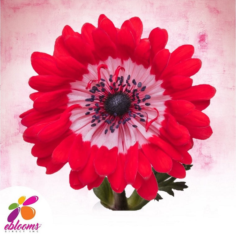 Anemones Fullstar Red 40 - 45cm Pack 120 Stems