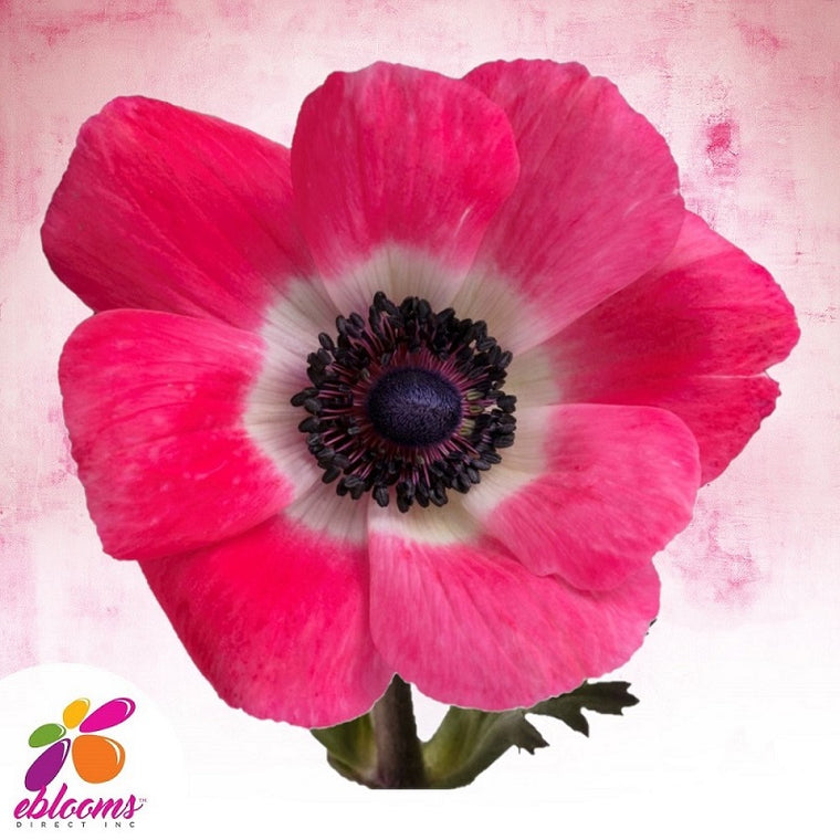 Anemones Hot Pink 40 - 45cm Pack 120 Stems