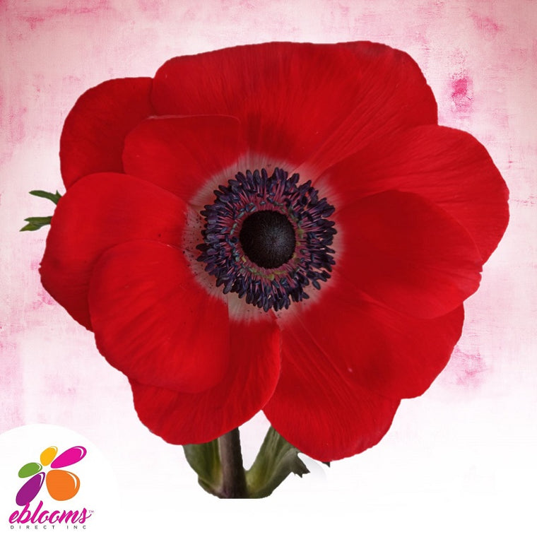 Anemones Red 40 - 45cm Pack 120 Stems