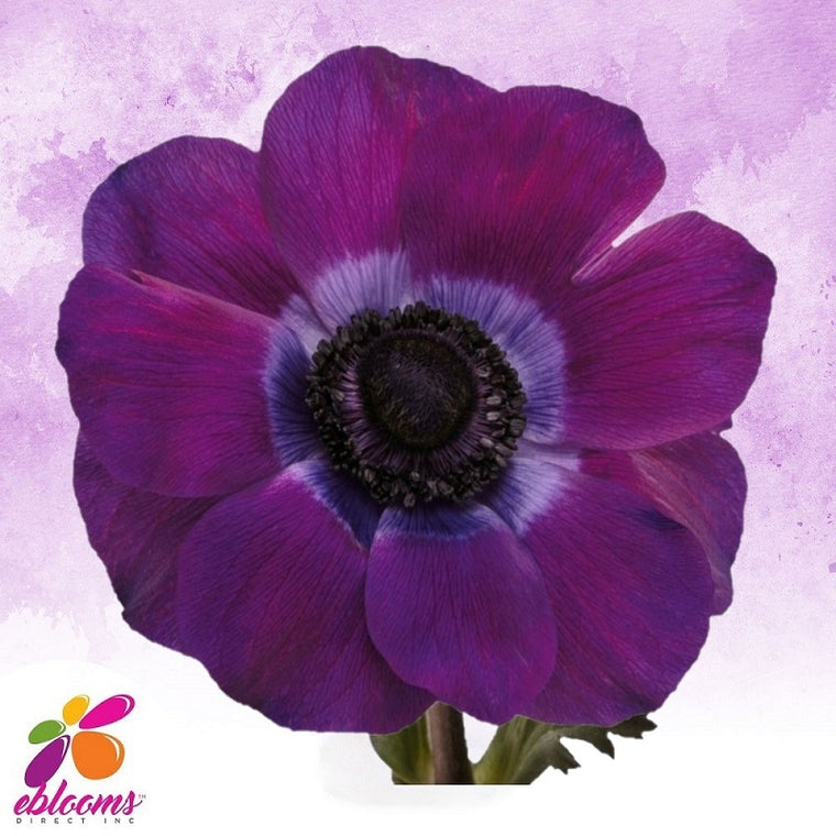 Anemones Viola Purple 40 - 45cm Pack 120 Stems