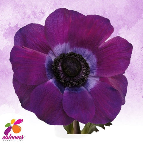 Anemone Viola Dark Purple - EbloomsDirect