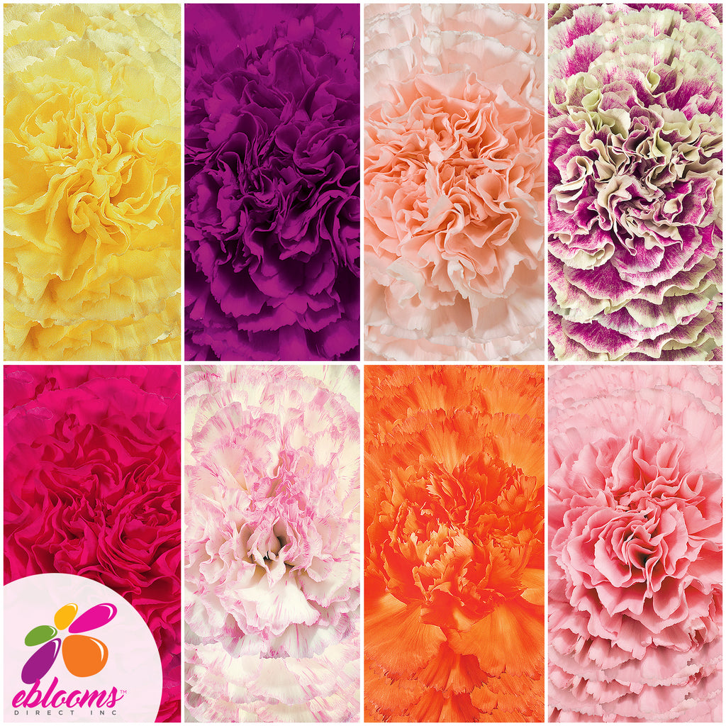 Carnation Assorted Colors - EbloomsDirect