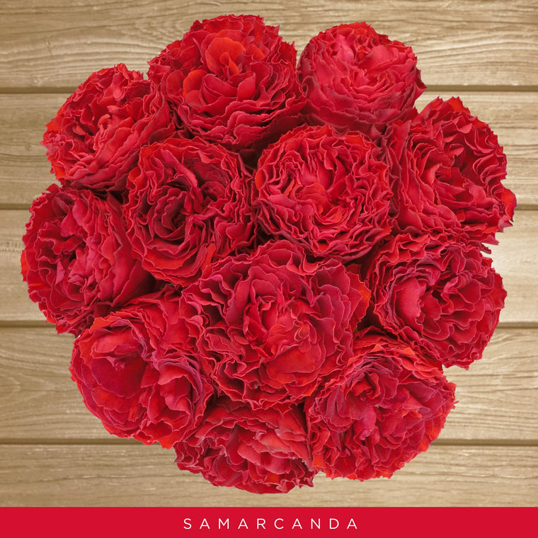 Garden Rose Red - Samarcanda - EbloomsDirect