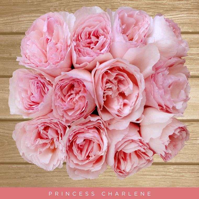 Garden Roses Princess Charlene Light Pink - EbloomsDirect