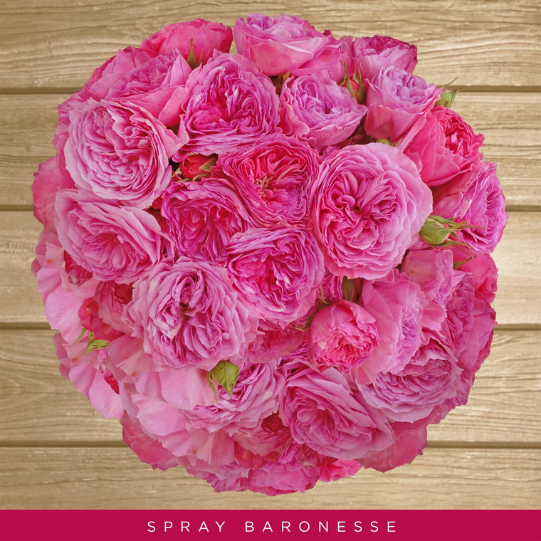 Spray Garden Roses Hot Pink - Baroness - EbloomsDirect
