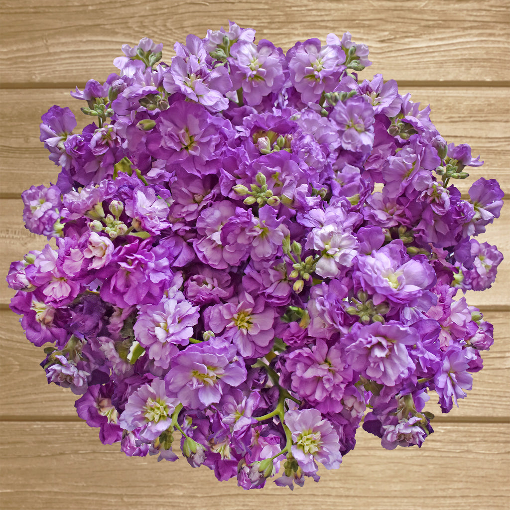 Spray Stock Light Purple Flowers Pack 50 Stems -EbloomsDirect