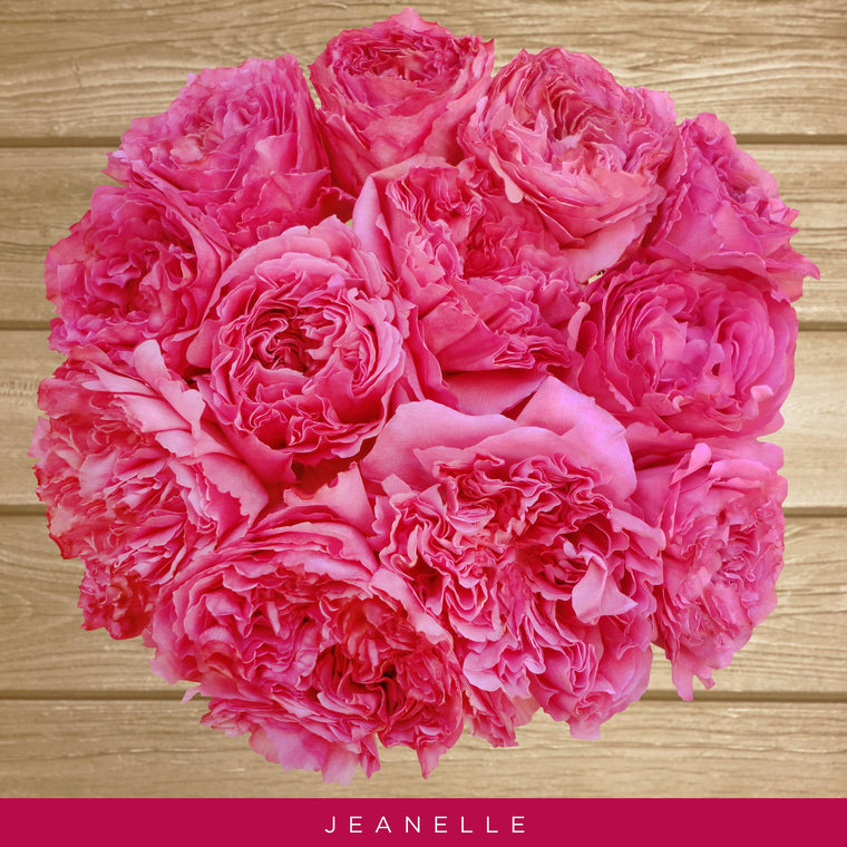 Garden Rose Jeanelle Hot Pink - EbloomsDirect