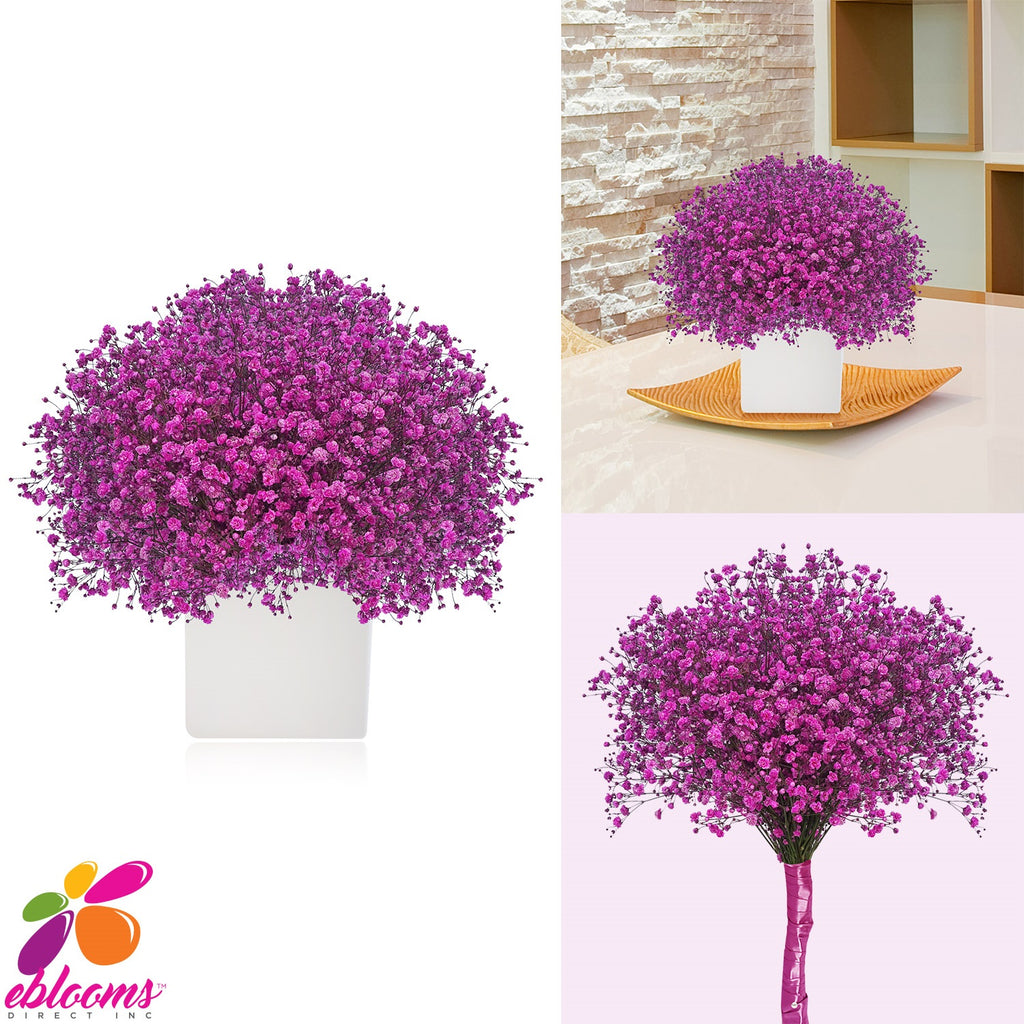 Gypsophila Baby's Breath Purple Tinted - EbloomsDirect