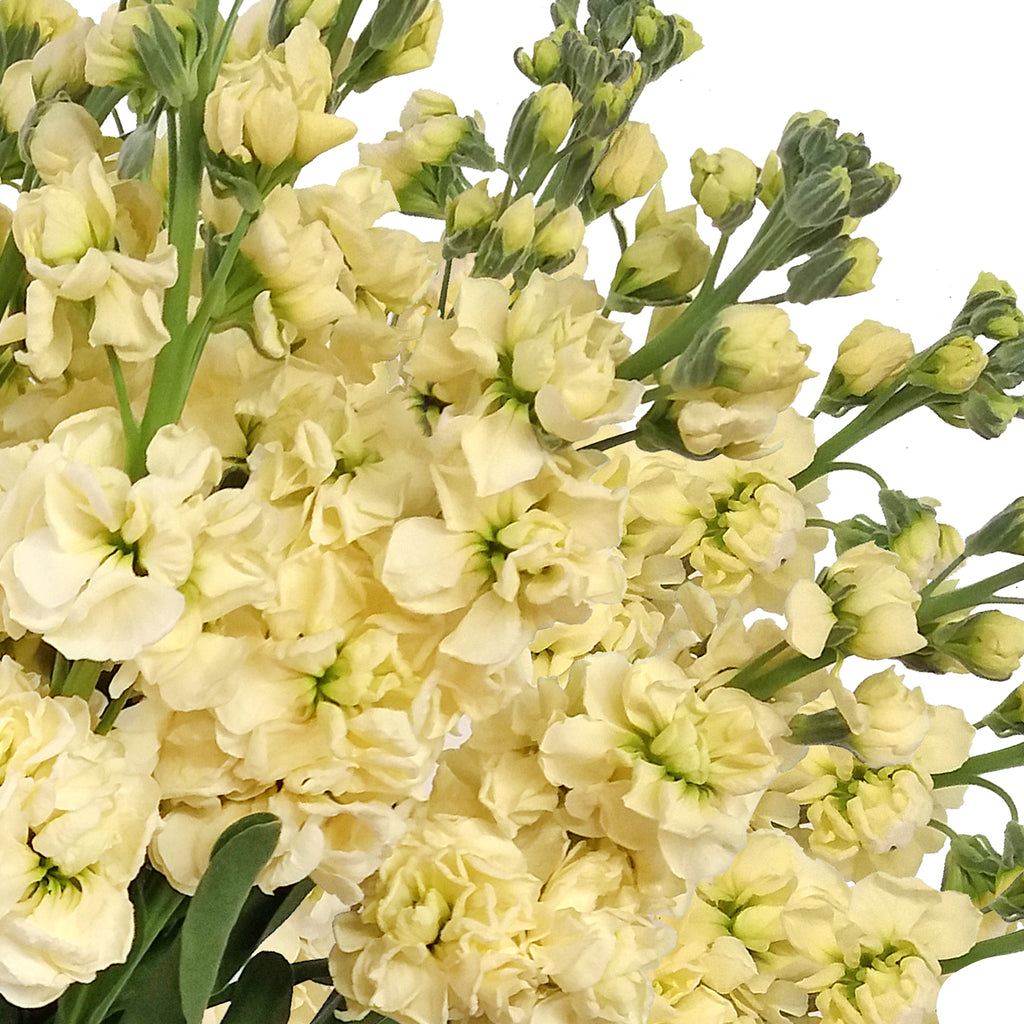 Stock Ivory Flowers Pack 80 Stems -EbloomsDirect