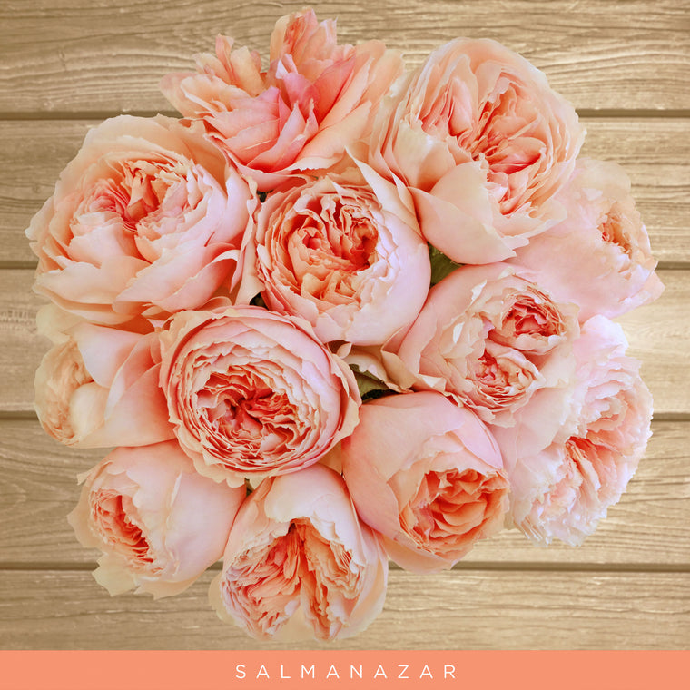 Gardens Rose Salmanazar Peach - EbloomsDirect