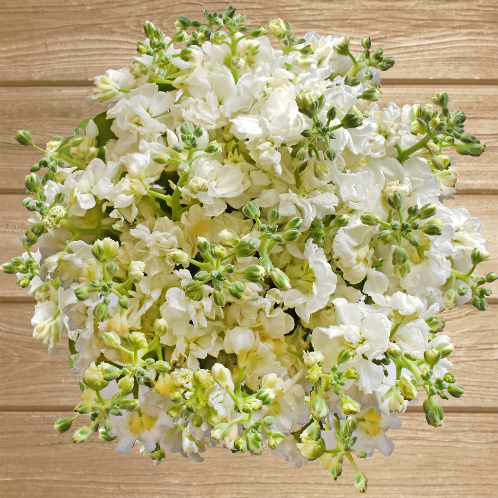 Spray Stock White Flowers Pack 50 Stems -EbloomsDirect