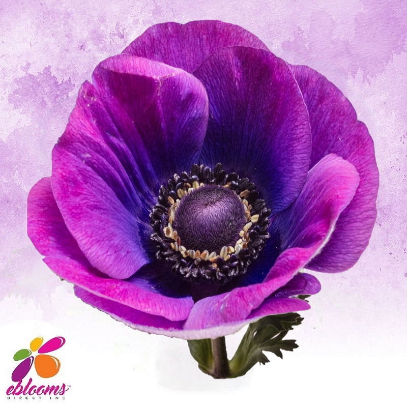 Anemone Grape Purple - EbloomsDirect