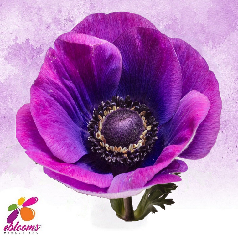 Anemones Grape Purple 40 - 45cm Pack 120 Stems