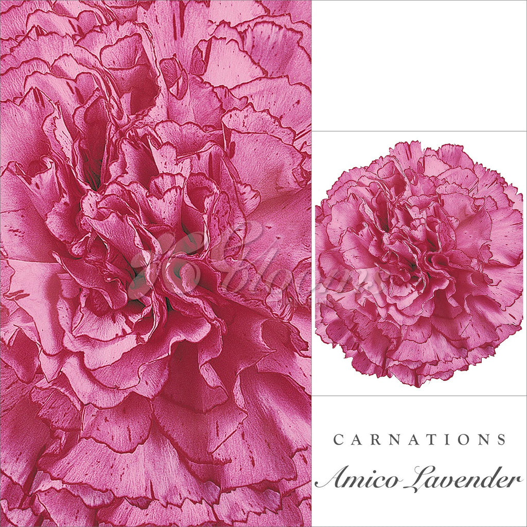 Carnations Lavender - EbloomsDirect