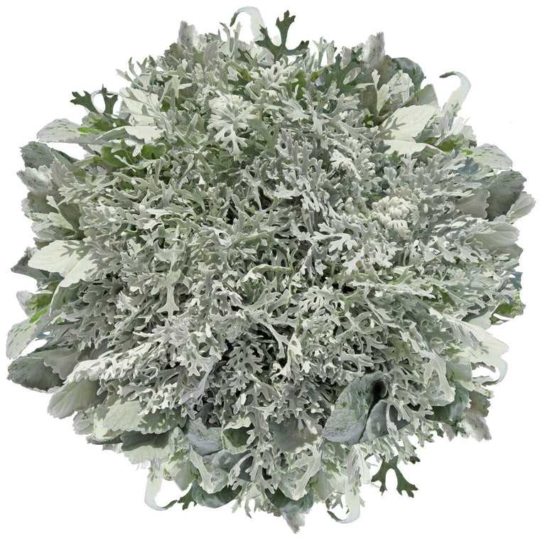 Dusty Miller Lacey Leaf