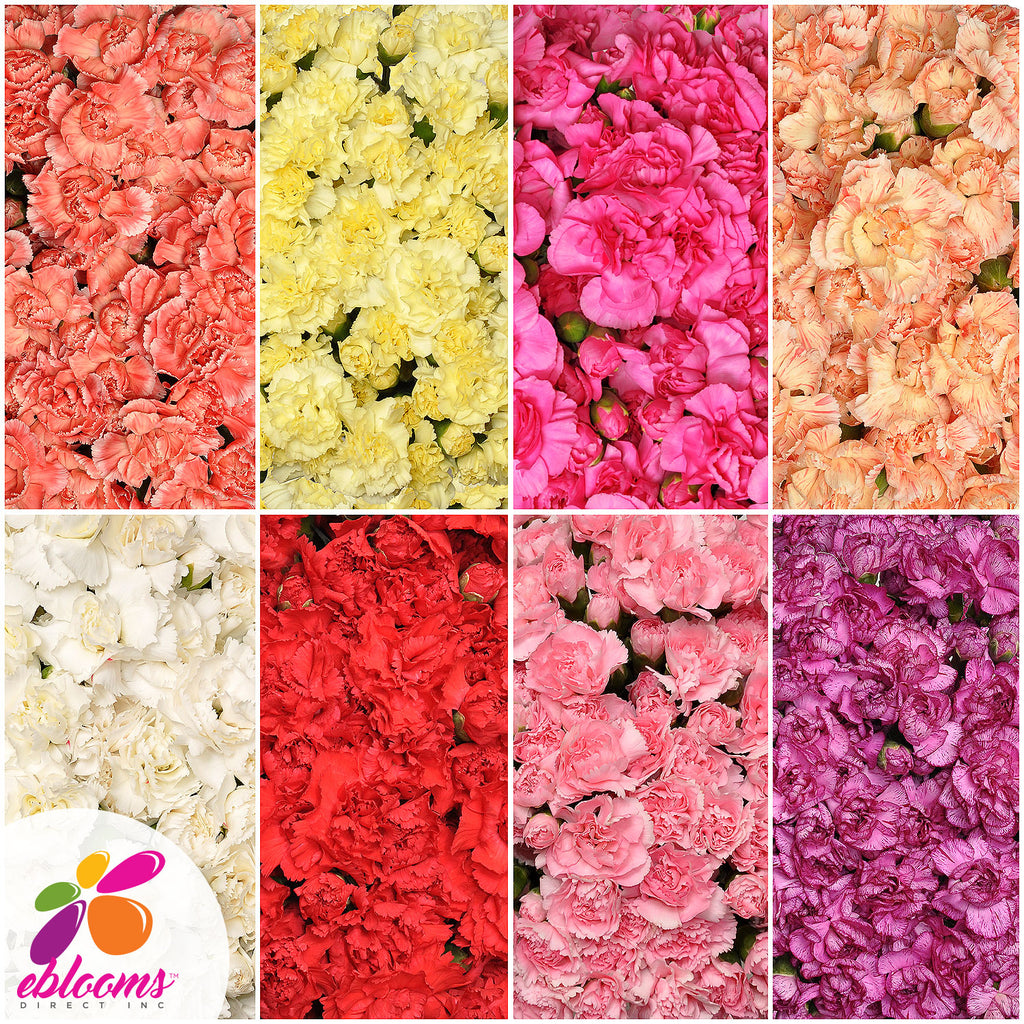 Mini Carnation Assorted Colors - EbloomsDirect