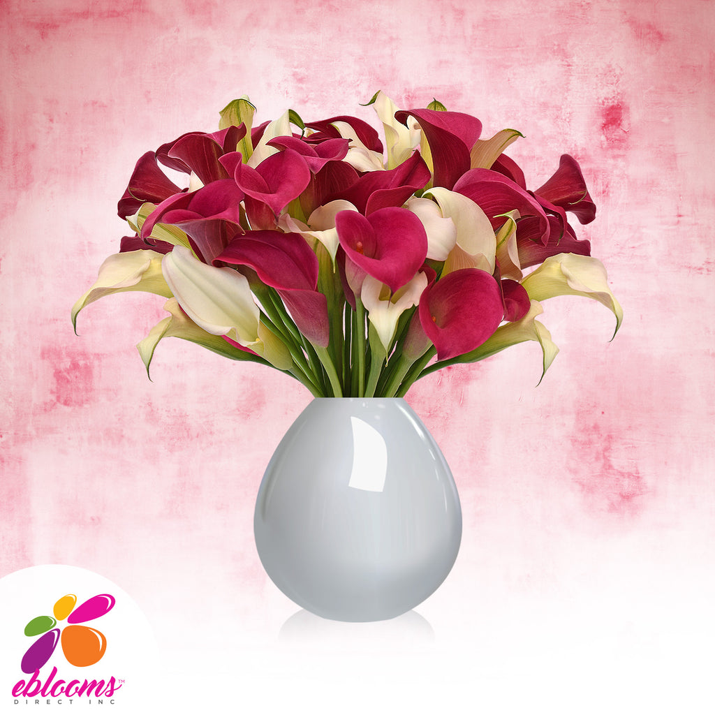 Mini Callas White and Hot Pink Pack 80 stems - EbloomsDirect