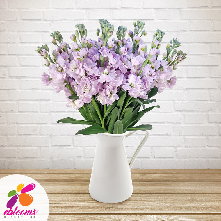 Stock Lavender Flowers Pack 80 Stems -EbloomsDirect