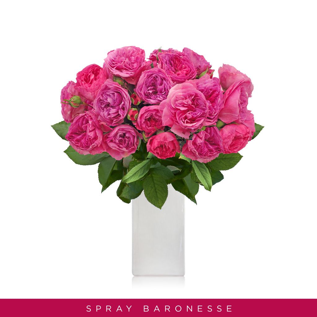 Spray Garden Roses Baroness Hot Pink - Wholesale Roses - Scented Roses - English Roses -Eblooms Direct