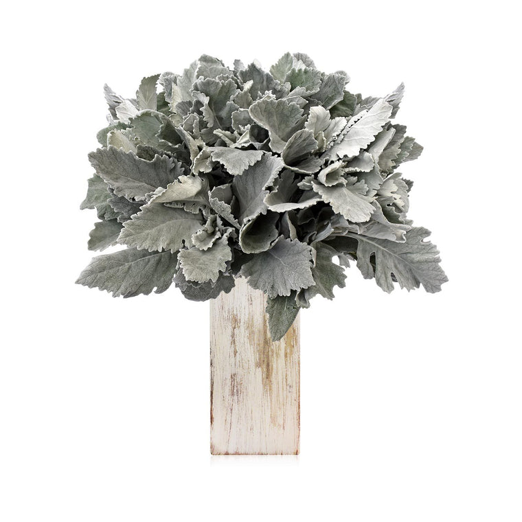 Dusty Miller Foliage - EbloomsDirect