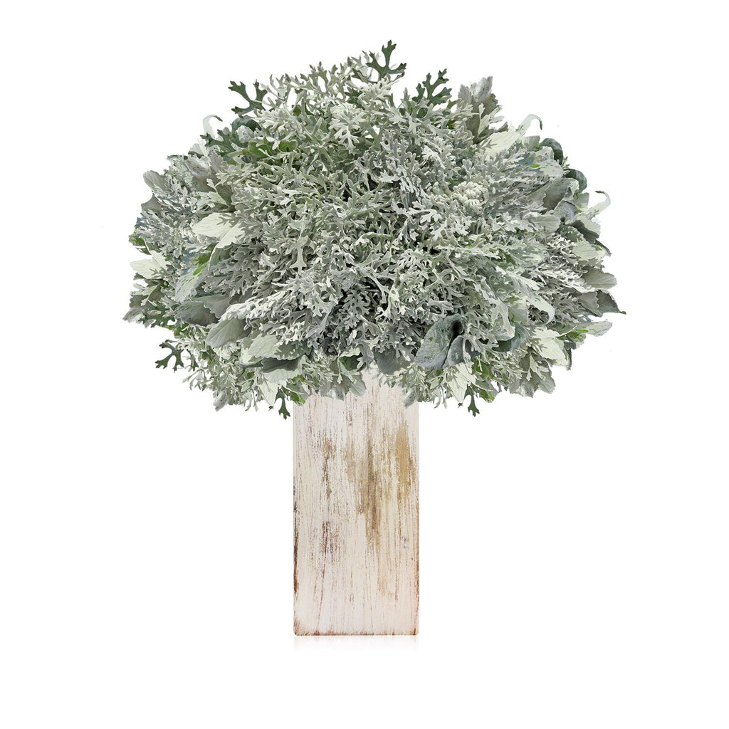 Dusty Miller Lacey